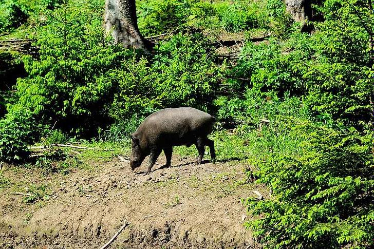 Das Schwein unter der Eiche